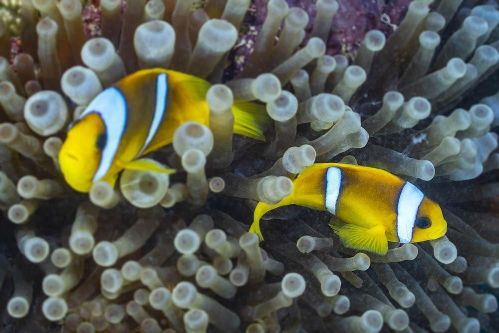 clownfish 05