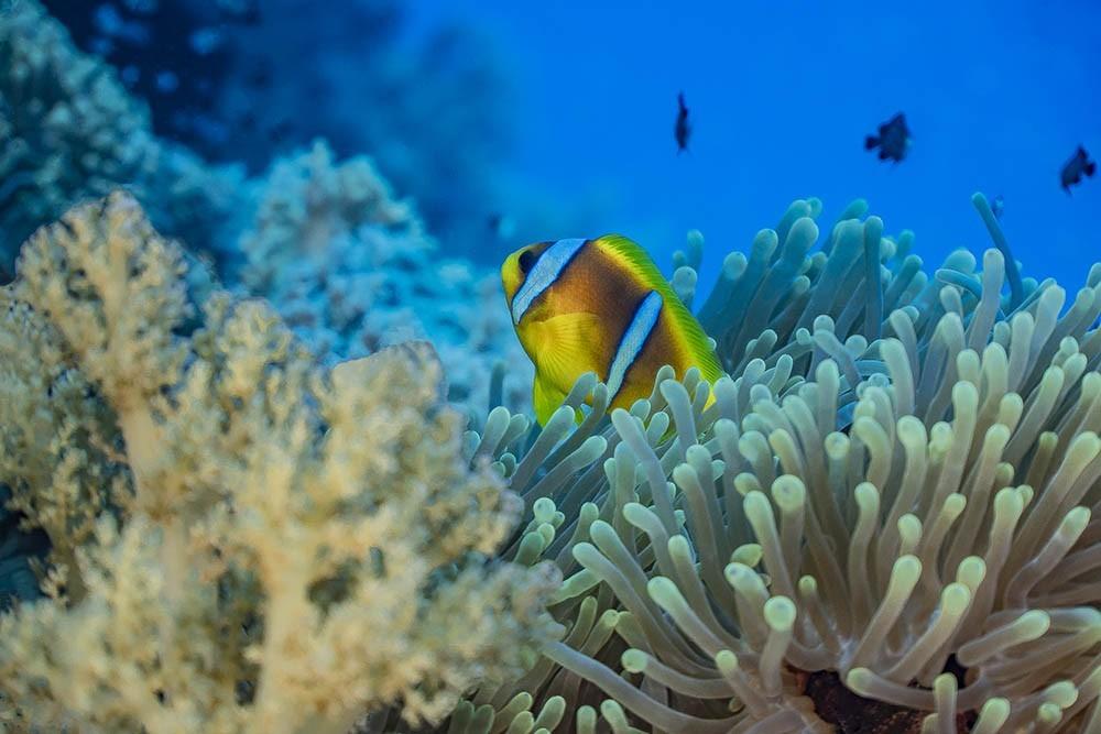 clownfish 09