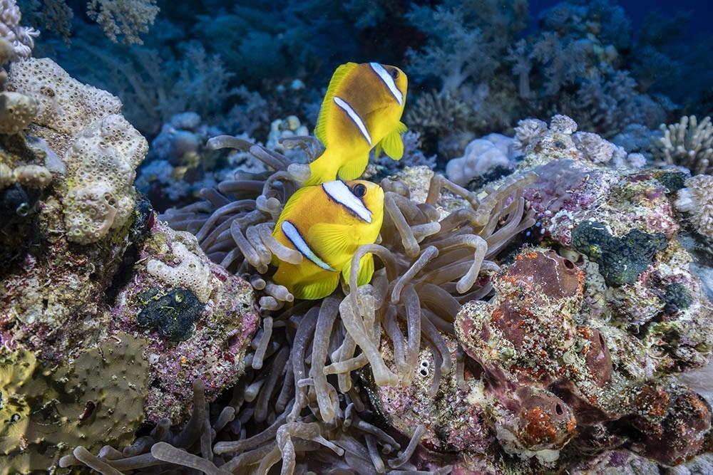 clownfish 10