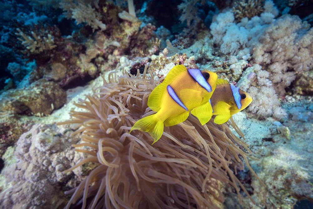 clownfish 11